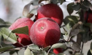 Cosmic Crisp apples, a new variety and the first-ever bred in Washington state, is expected to be a game changer in the apple industry.