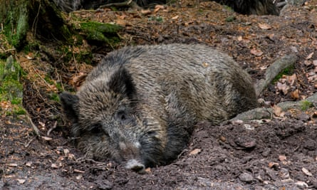 A wild boar sleeps in the forest mud, Germany.