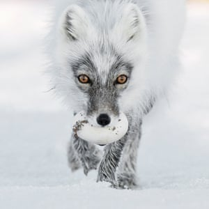The arctic fox with an egg, Wrangel Island, Russia