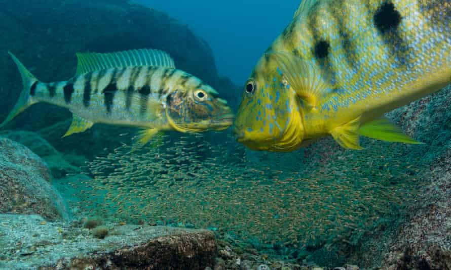 A pair of emperor cichlids guard their offspring.