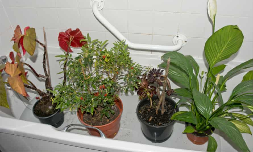 Bathing beauties: houseplants on holiday in the bath.