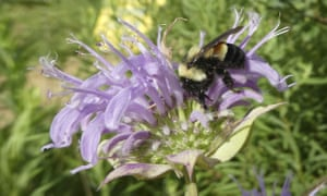 A rusty patched bumblebee
