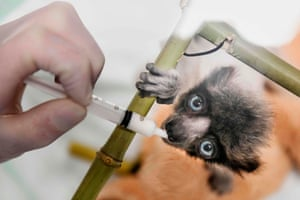 A zoo veterinarian feeds Soa, a critically endangered crowned sifaka from Madagascar, in Besancon, eastern France