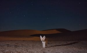 On a starry night an adult fennec fox takes a self-portrait by crossing the infrared beam of a camera-trap setup placed along a trail in the desert dunes.