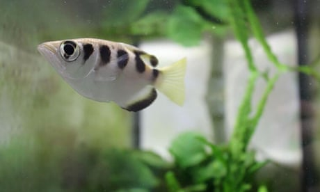 Smart fish can recognise human faces, scientists find