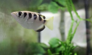 An archerfish in its aquarium at a laboratory at the University of Queensland in Australia. Fish can tell one human face from another scientists said.