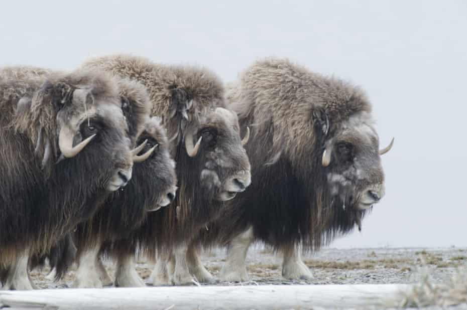 Musk oxen in a defensive ring around their young.