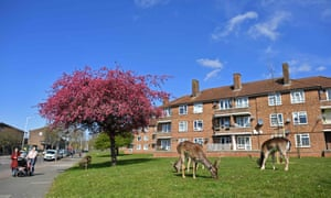 People pass a herd of fallow deer grazing on the lawns of a housing estate in Harold Hill in east London