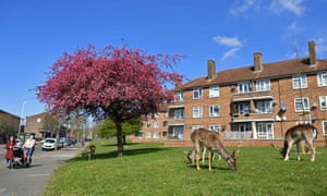 A herd of fallow deer grazing on the lawns of a housing estate in Harold Hill, east London on 4 April 2020.