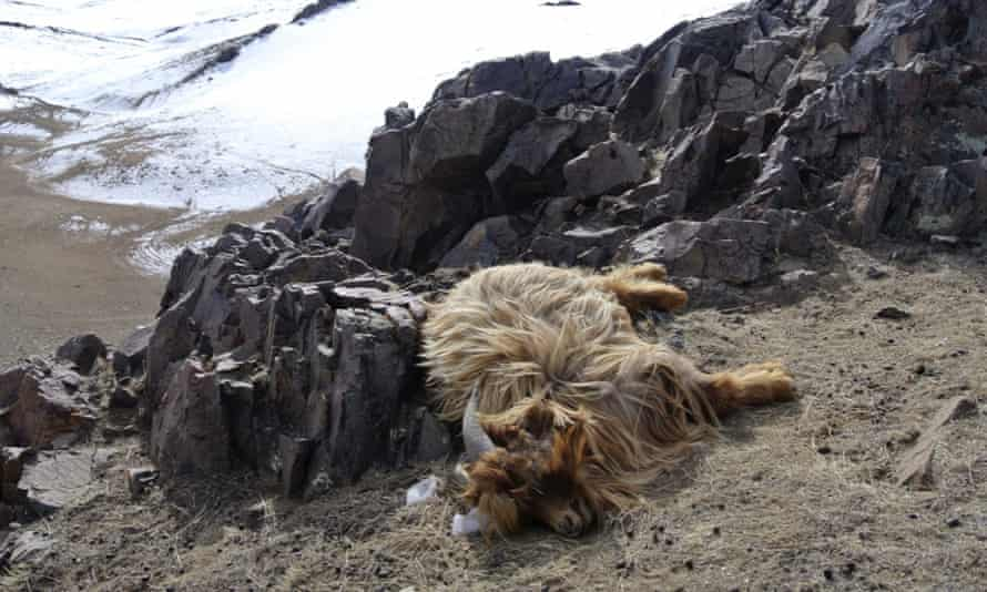 A goat lies dead on a hillside in the Ulziit district of Bayankhongor in Mongolia