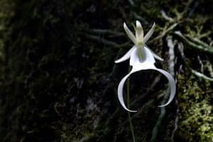 A rare and endangered 20-year-old ghost orchid