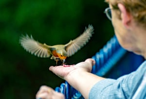 Liverpool, UK. A lady feeds a wild robin from her had at Sefton Park