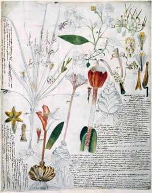 Across Europe, naturalists were joined by networks of correspond- ence by which they exchanged not only letters, books and journals but also plant specimens, either living material such as cuttings, bulbs, fruits and seeds, or preserved material such as herbarium specimens. In addition, bota- nists commonly sent drawings, watercolours or prints of plants to colleagues for information or inquiry. Although it has been claimed that the illustrations shown are by Jac- quin, they are probably by Johannes Scharf. Close analysis reveals that the three images of Haemanthus species are copies of the watercolours, now lost, that were used to prepare the copper engravings of Jacquin's famous flower book Plantarum rariorum horti caesarei Schoenbrunnensis descriptiones et icones (1797–1804).