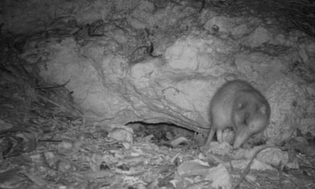 A Hispaniolan solenodon is caught on camera trap leaving its burrow at night in the Dominican Republic.