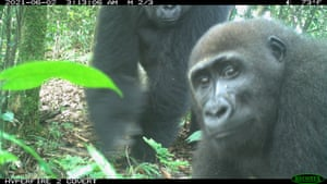 Cross River gorillas are seen on a camera trap in the Afi Mountain Wildlife Sanctuary in Nigeria. The sanctuary was established by Cross River state government in 2000 to protect Cross River gorillas and other endangered wildlife