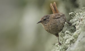 An adult wren standing on a wall