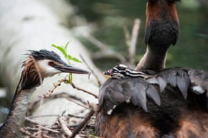 A great crested grebe feeding a chick on its parent's back at a nest in Walthamstow Reservoirs, London, UK