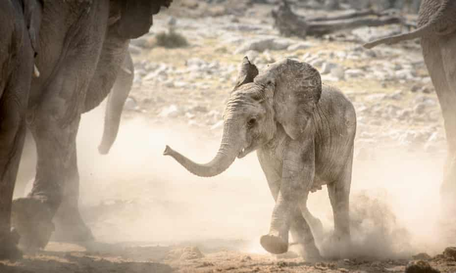 A baby elephant in Namibia's Etosha National Park.