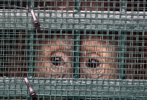 A Sumatran orangutan in a cage shortly after landing at the Cargo Terminal of Kualanamu Airport, Deliserdang, North Sumatra, Indonesia. The Ministry of Environment and Forestry succeeded in repatriating 11 Sumatran orangutans (Pongo abelii) from illegal trade originating in Malaysia and Thailand