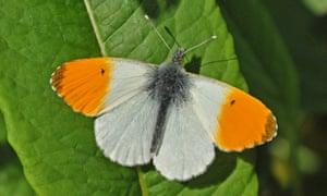 Male orange tip butterfly.