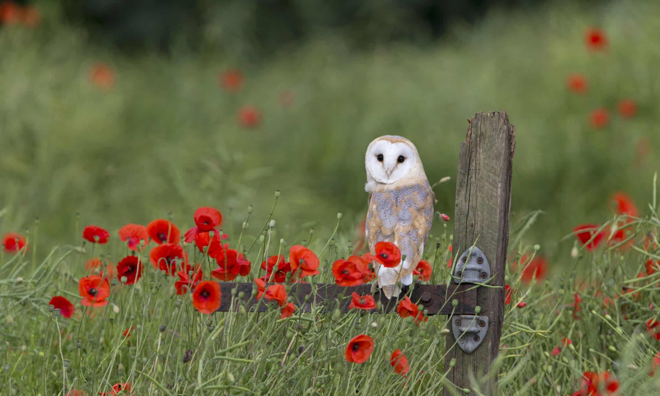 Barn owls are usually gentle, unlike tawny owls which can be aggressive. Photograph: FLPA/Rex/Shutterstock