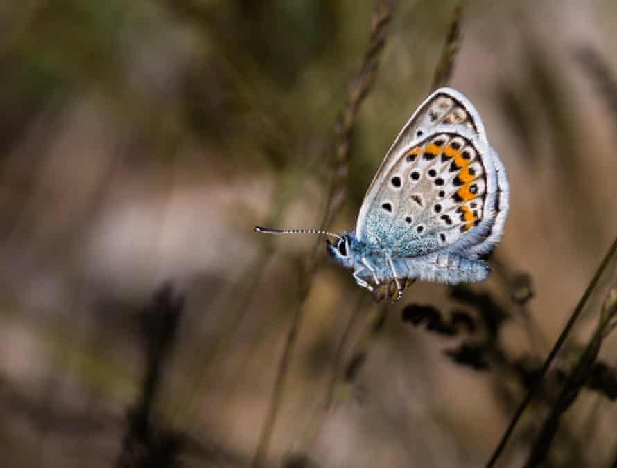 Silver-studded blue butterflies
