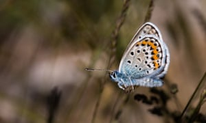 Silver-studded blue butterflies