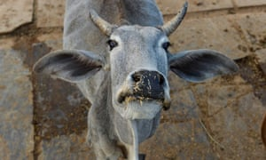 Cows are considered sacred by many members of India's Hindu majority.