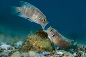male cichlid fish fight