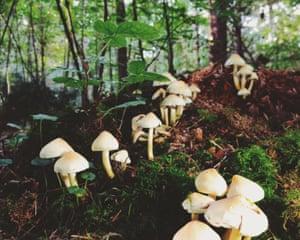 Fungus Sulphur Tuft (hypholoma Fasciculare)