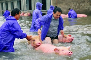 Anhui, China: Workers save pigs from a flooded farm in Lu'an