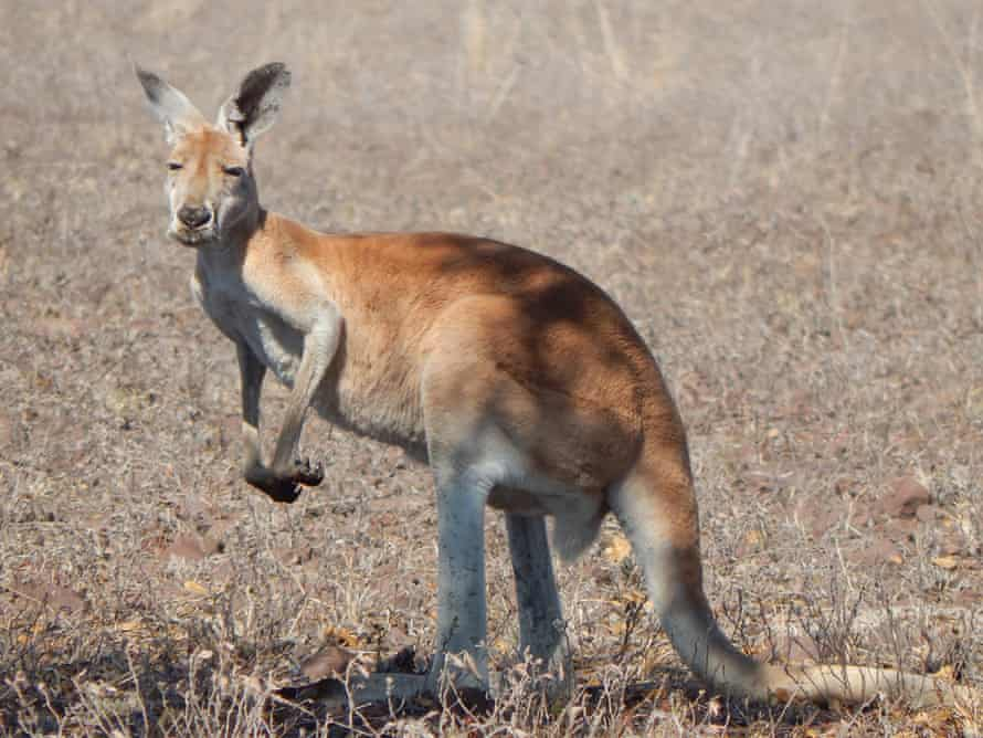 A red kangaroo