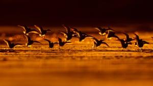 Sanderling wading birds stop during migration, Asturias, Spain