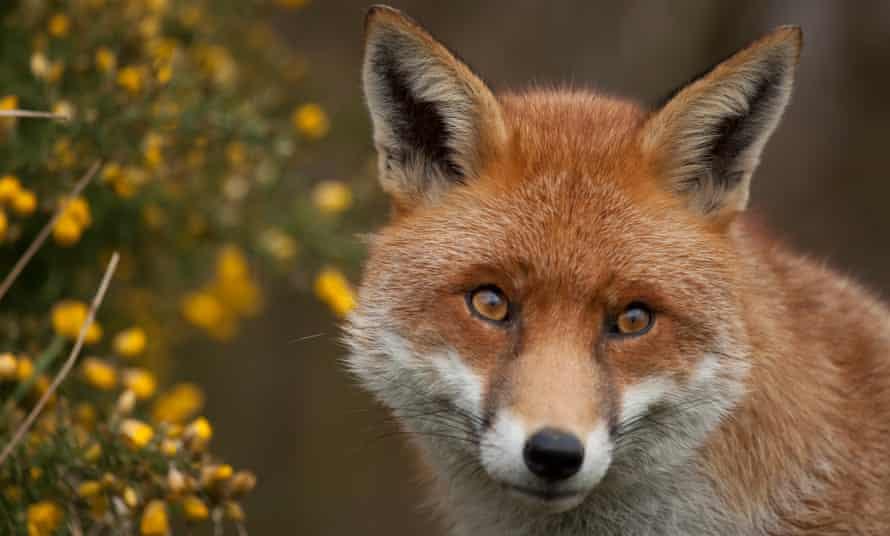Red fox with gorse.