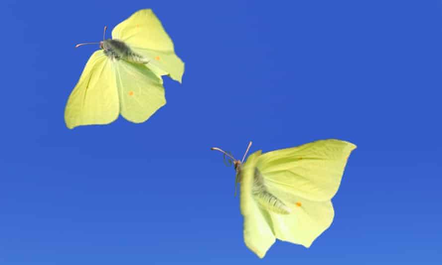 Brimstone butterflies in flight