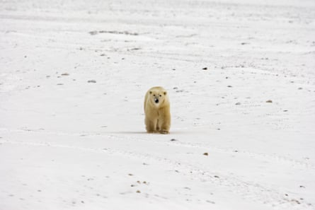 A Polar Bear walks on the frozen tundra next to Hudson Bay ahead of the freeze-over 12 November 2007 outside Churchill, Mantioba, Canada. Polar Bears return every year to Churchill, the Polar Bear capital of the world, feeding on seals and remaining until the Spring thaw.