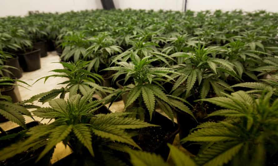Cannabis factory in Leyton, east London