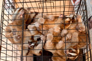 Rescued slow loris at a wildlife centre in Bogor, Indonesia