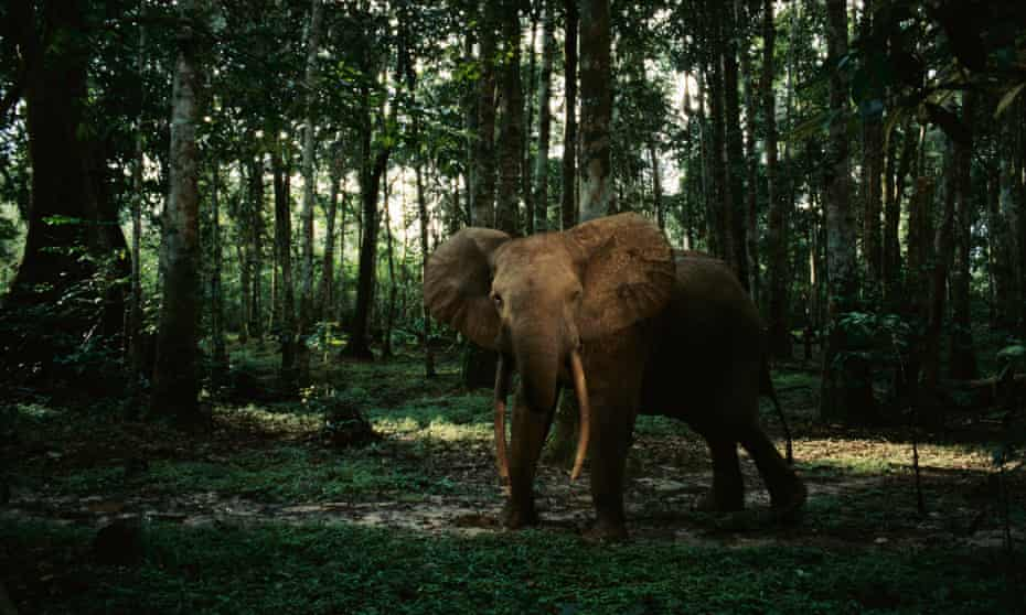An African forest elephant in Gabon: a dozen are shot every day by heavily armed poachers.