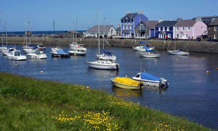 Buttercups flowering in the sward beside Aberaeron harbour.