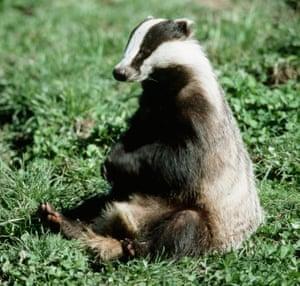 A badger sitting upright