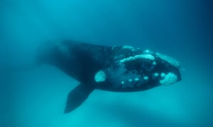 """""""There are only a few thousand southern right whales left on the planet and we need to find what is killing so many of their calves,"""" says geneticist Jennifer Jackson."""