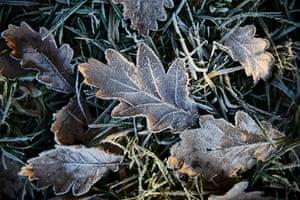 Oak leaves in Greenmount, Greater Manchester, UK