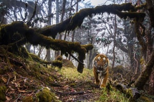 A tiger stares out from its lush forest habitat, traversing one of a series of dedicated wildlife corridors between the National Parks of Bhutan.
