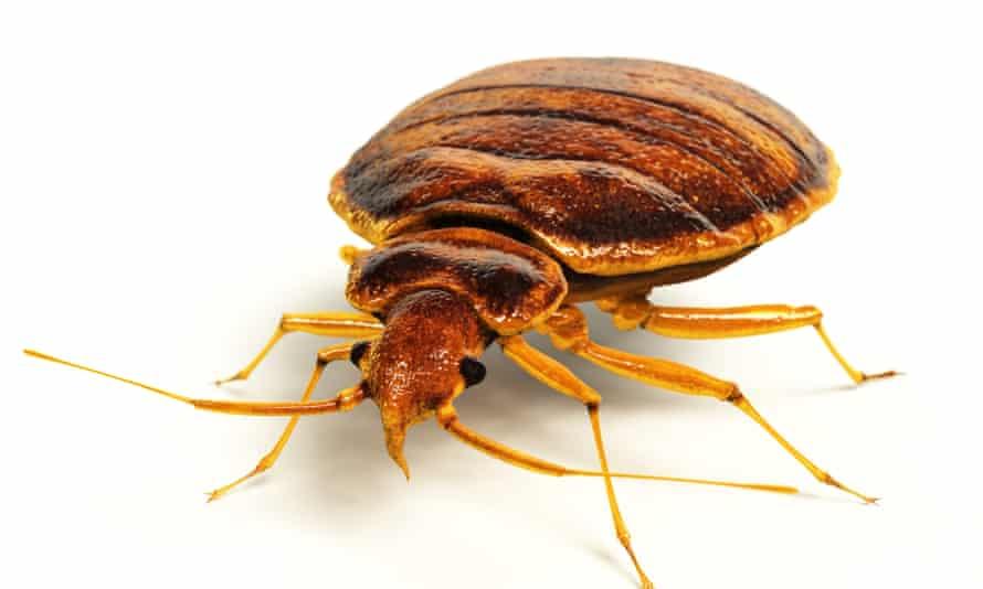 Cimex lectularius – the common bedbug.