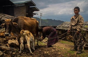 Phuntsho, Ngawang Choden's son, helps his grandmother herd the cattle for milking Mountain Hazelnuts. Bhutan