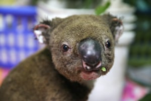 A koala named Paul from Lake Innes Nature Reserve recovers from his burns in the ICU at The Port Macquarie Koala Hospital.