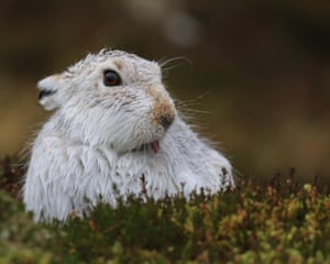 A mountain hare in the Scottish Highlands