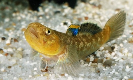 A desert goby fish.