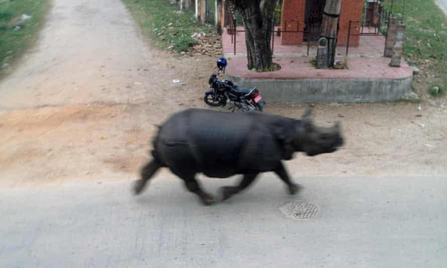 A runaway rhinoceros can be seen in the streets of Hetauda.